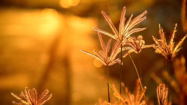 close up of feather grass at sunrise video