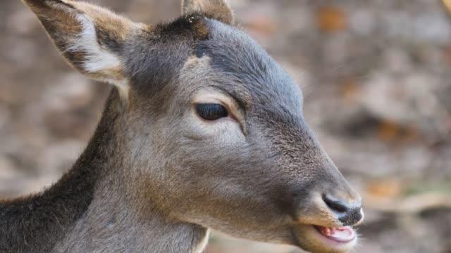 close up of female dam deer - jelonek filmów i materiałów b-roll