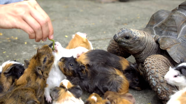 Close up of female hand feeding turtle and guinea pigs video