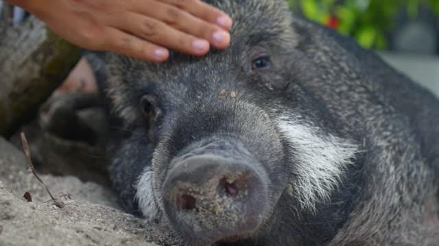 農場で豚をかわいがる女性の手のクローズアップ - 子豚点の映像素材/bロール