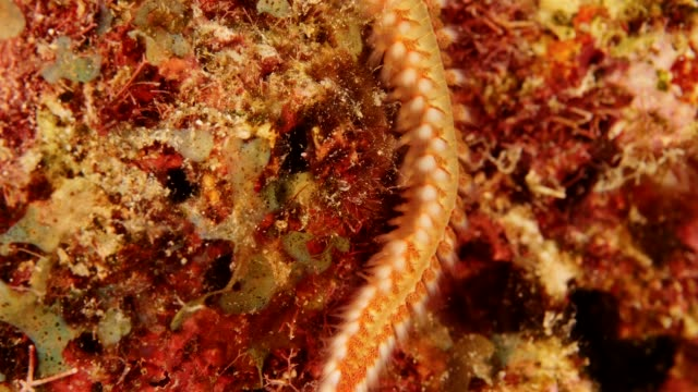 Close up of fireworm as a part of the coral reef in the Caribbean Sea around Curacao Super Macro of the reef around Curaçao /Netherlands Antilles cleaner shrimp stock videos & royalty-free footage