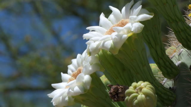 Close Up of Flowers on a Saguaro Cactus in Arizona
