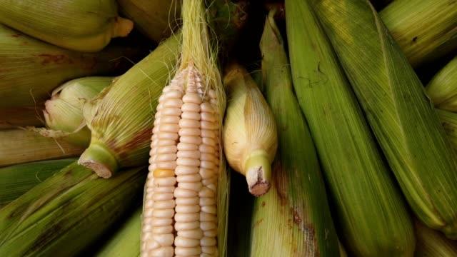 närbild av färsk skörd majs - skalhylsa bildbanksvideor och videomaterial från bakom kulisserna