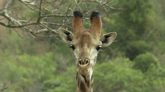 nahaufnahme von giraffe kopf mit ochsen schwanz auf den hals. - großwild stock-videos und b-roll-filmmaterial