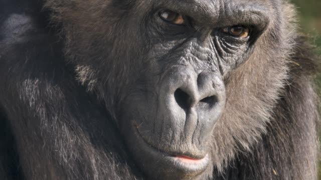 stockvideo's en b-roll-footage met close-up van gorillagezicht. - gorilla