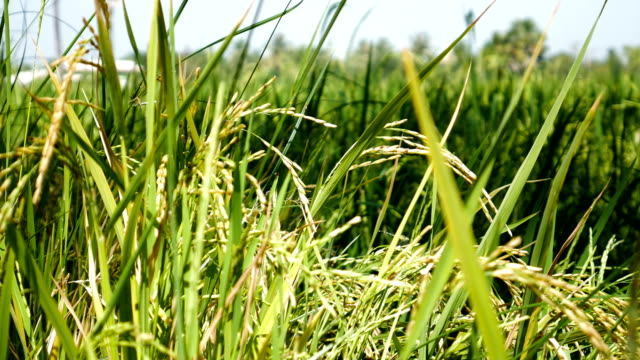 Close up of Green Paddy Rice Plant Sway against Wind. video