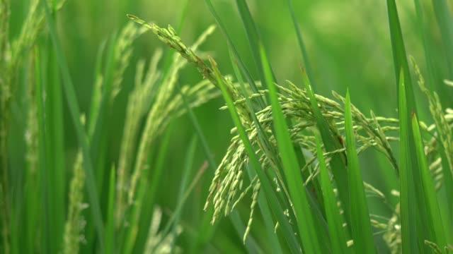 ウブド、バリ島緑水稲のクローズ アップ - 稲点の映像素材/bロール