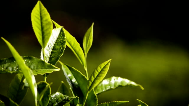 nahaufnahme von green tea leaves - grüner tee stock-videos und b-roll-filmmaterial