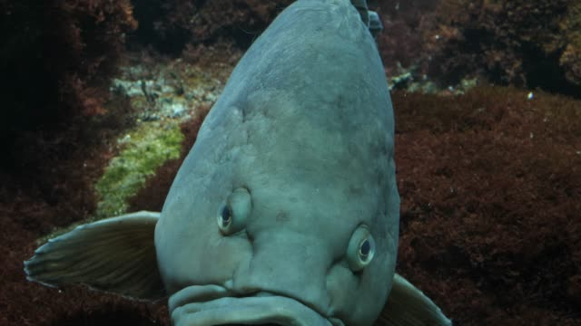 Close up of grouper face video