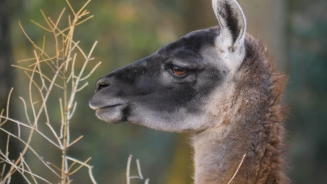 Close up of guanaco