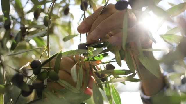 close up of hands harvesting olives on sunset - oliva video stock e b–roll