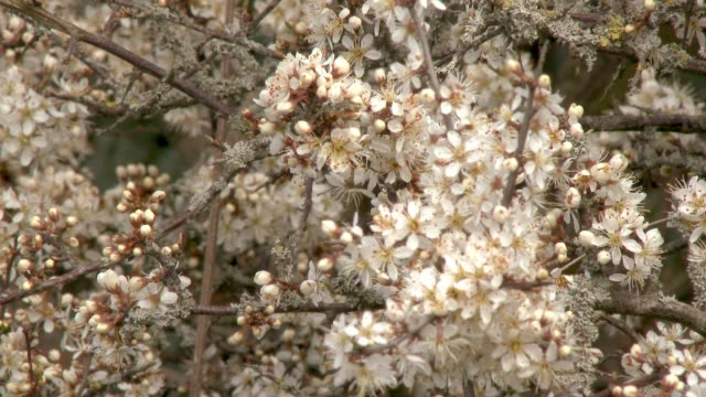 Close up of Hawthorn flowers in full bloom on a hedge in Dumfries and Galloway