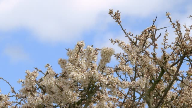 Close up of Hawthorn flowers in full bloom on a hedge swaying in the wind