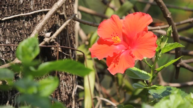 Close-up van Hibiscus rosa-sinensis Flower video