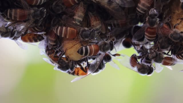 close up of honey comb and portrait bees - ape operaia video stock e b–roll