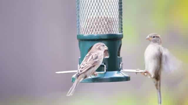 close up of house sparrows feeding on a bird feeder - ornitologia video stock e b–roll