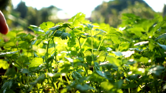Close up of human harvesting coriander in an organic veggie garden video