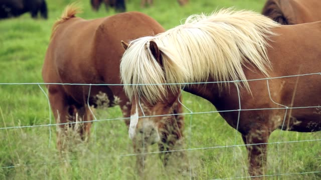 Close up of Icelandic horses grazing on a pasture, Slow motion video