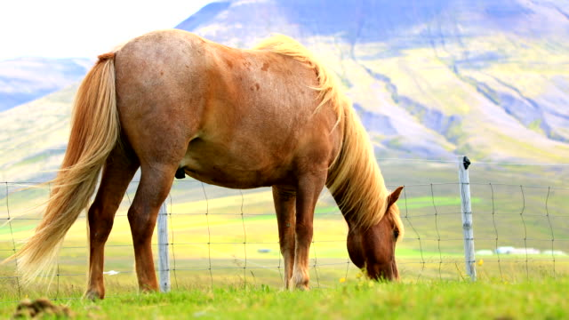 Close up of Icelandic horses grazing on a pasture video