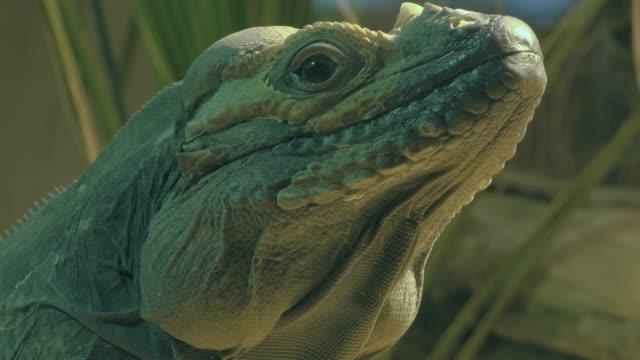 Close up of iguana video