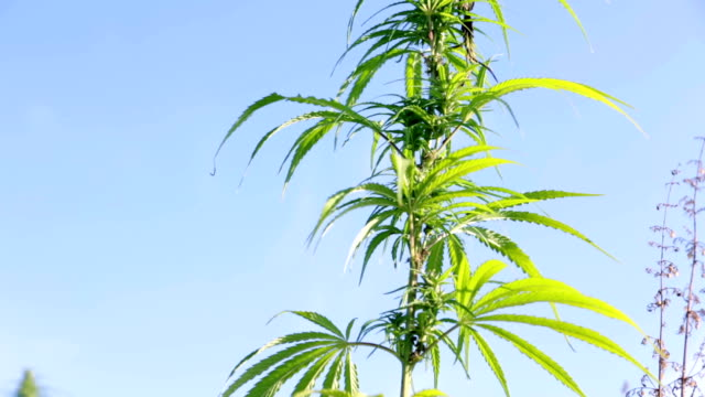 HD: Close up of industrial hemp HD1920x1080: High quality produced HD Stock Footage Clip of Industrial cannabis field and single hemp plants shots  from different angles while shaking in the wind on a sunny day near the roadside. hashish stock videos & royalty-free footage