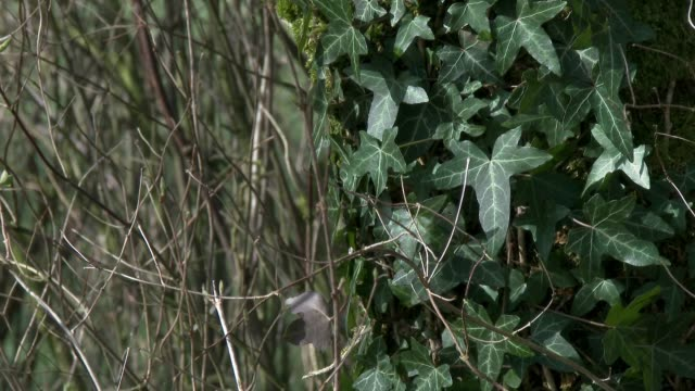 바람에 날리는 나무 줄기에 아이비의 클로즈업 - 아이비 스톡 비디오 및 b-롤 화면