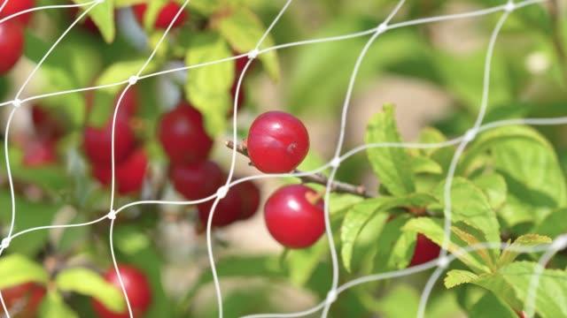 nahaufnahme von japanischen busch kirschobst hinter vogelnetz, schöne rote früchte schwanken im wind, 4k filmmaterial, zeitlupe. - netzgewebe stock-videos und b-roll-filmmaterial
