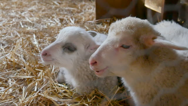 Close up of Lambs Head Chewing, Sheep on Meadow, Field, Farming video