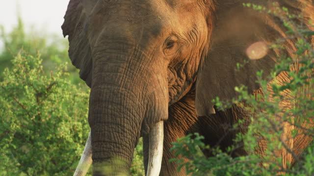 nahaufnahme von large bull elephant mit tusks bei sunrise. bedrohte arten, wilderei und safari-konzepte. tusker afrika tourismus. - großwild stock-videos und b-roll-filmmaterial