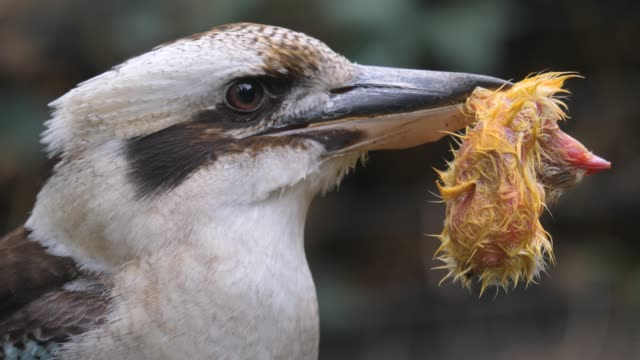 close up of  laughing kookaburra. video