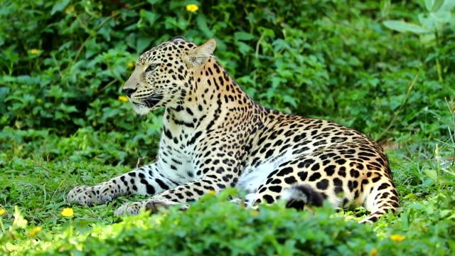 närbild på leopard vila, slowmotion - leopard bildbanksvideor och videomaterial från bakom kulisserna