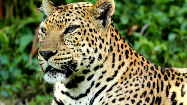 närbild på leopard vilar - leopard bildbanksvideor och videomaterial från bakom kulisserna