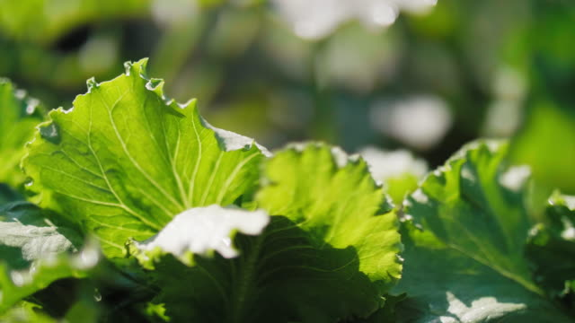 Close up of lettuce's leaves Close up of lettuce's leaves hydroponics stock videos & royalty-free footage