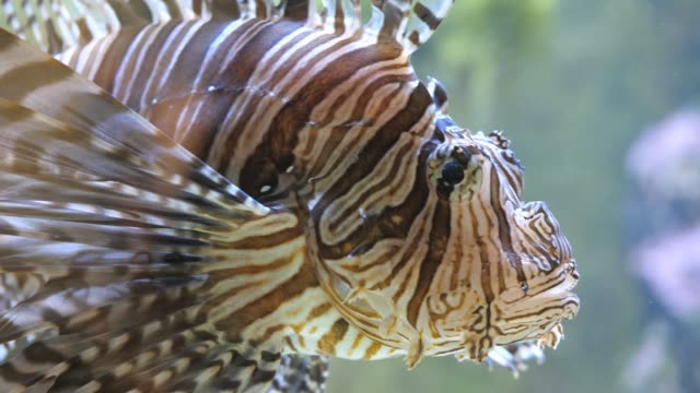 Close up of lionfish floding up video