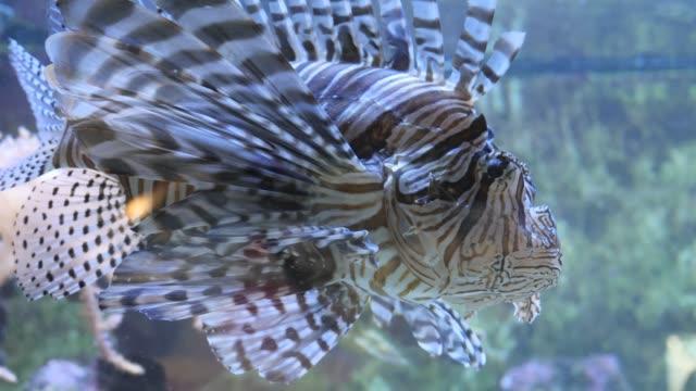 Close up of lionfish, tail undulating video