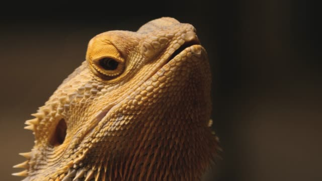 Close up of lizard head Close up of lizard head moving his eyes with zoom in. reptile stock videos & royalty-free footage