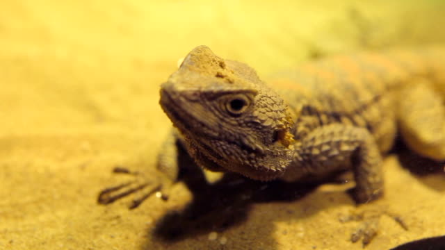 Close up of lizard Close up of lizard gecko stock videos & royalty-free footage