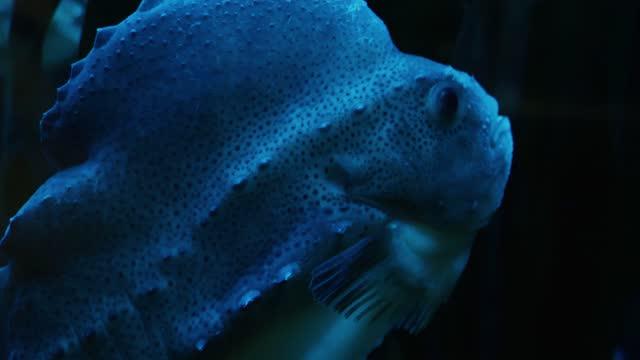 Close up of Lumpsucker deep water fish