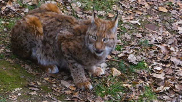 Close up of lynx