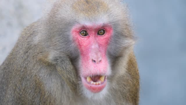 Close up of macaque monkey being surprised. Close up of male macaque monkey being surprised with funny face looking to the right. japanese macaque stock videos & royalty-free footage