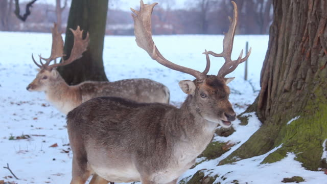 Close up of Magnificent Stags or Bucks grazing video