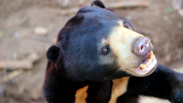 Close up of Malayan sun bear, slow motion
