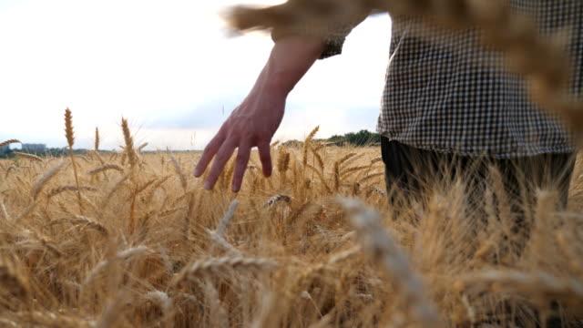 çayırda yetişen olgun buğdayın üzerinde hareket eden erkek kolunun yakınçekimi. genç çiftçi tahıl tarlasında yürüyor ve mahsulün altın kulaklarına dokunuyor. tarım kavramı. düşük görünüm yavaş çekim - çavdar stok videoları ve detay görüntü çekimi