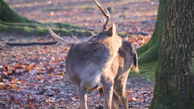 close up of male dam deer grooming - poroże filmów i materiałów b-roll