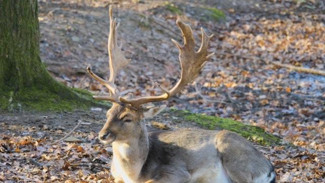 close up of male dam deer - poroże filmów i materiałów b-roll