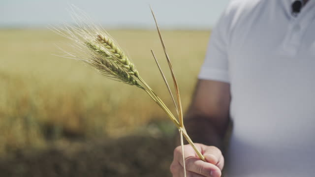 Close up of male hand holding spikelets of yellow ripe wheat on golden field during sunny autumn day. Close up of male hand holding spikelets of yellow ripe wheat on golden field during sunny autumn day. 4K rye grain stock videos & royalty-free footage