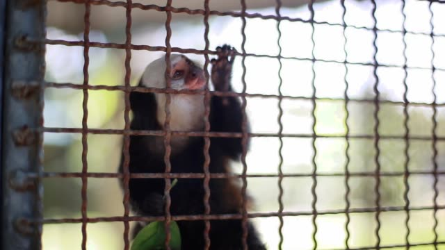 Close up of male hand playing with cute small monkey in cage. 1920x1080 video