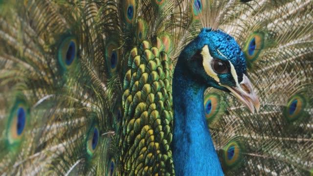 крупным планом мужского павлина - peacock стоковые видео и кадры b-roll