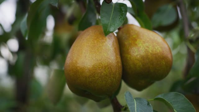 Close up of mature ecological and biological pears on a tree of plantation orchard in a fall season Close up of mature ecological and biological pears on a tree of plantation orchard in a fall season. pear stock videos & royalty-free footage