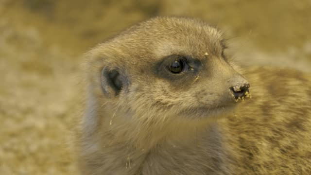 Close up of meerkat face looking right then left video